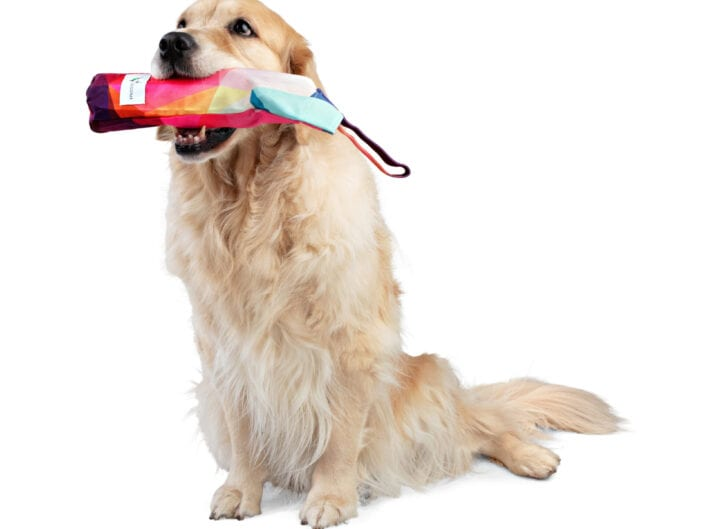 Golden Retriever with Dog Toy